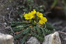 Morisie - Corse - Avril 2010