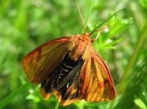 Rotrandbär  Weibchen  (SH)