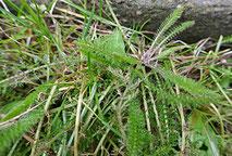 Zarte Blättchen der Schafgarbe (Achillea miielfolium) im Februar
