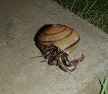 カタツムリの殻に入ったオカヤドカリ