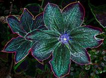21 Leuchtende Blume Clematis/Luminous flower Clematis