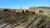 Dexter Kuh Bulle Franken hornless cattle