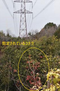写真3.送電線の下で剪定されているコナラ