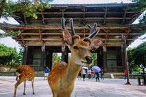 les shika les cerfs  de nara avec des guides francophones au Japon