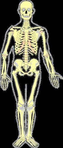 Bild: menschliches Skelett