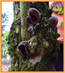 Judasohr (Auricularia auricula-judae)