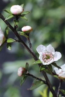 Fleurs de Manuka sauvage