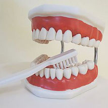 Zahnreinigung Prophylaxe am Modell