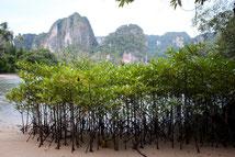 Mangroven an der Küste