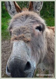Nieuwsgierige ezel.