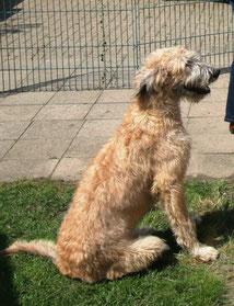 Mutter 50% Irish Wolfhound/ 50% Großpudel Artlaender Wolfspudel