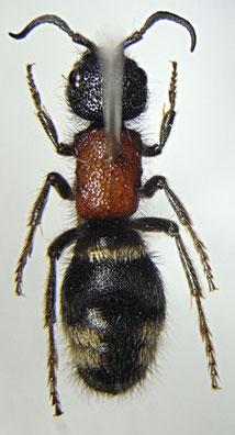 ミカドアリバチ♀(アリバチ科)