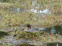 Un canard dans le lac où l'on se baigne