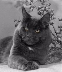 кот мейн-кун, мейн-кун фото