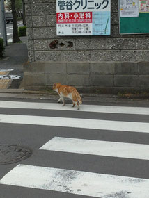 ちゃんと横断歩道わたる猫