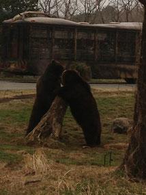 喧嘩するクマ