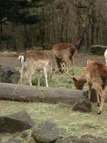 ご飯食べる鹿