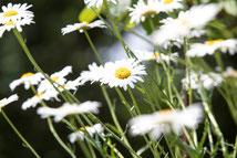 Naturheilkunde alternativ Medizin Peine Sonja Gasparini Kamille