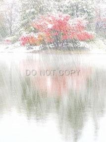 紅葉を覆う記録的初雪    小笠原 裕司