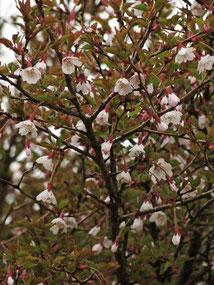 マメザクラ (豆桜)