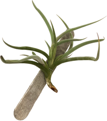 Tillandsia myosura major
