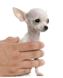 Chi-Love.de | Die Seiten für Chihuahua-Eltern!