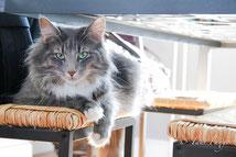 chat des forets norvegiennes skogkatt chat forêts norvège nord france taur fangorn valenciennes élevage kittens breeding cattery loof fife Kätzchen poesje skogkatt
