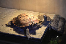 Höckerschildkröten Paar