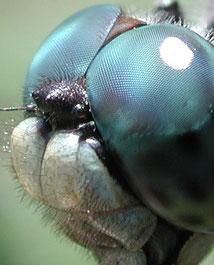 Facettenaugen einer Libelle