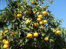 Sinaasappels Plantage Hof Sap citrus sinaasappelboom excursie