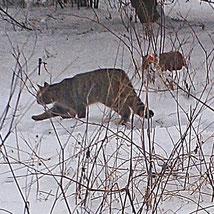 Wildkatze Foto: NAJU Gotha