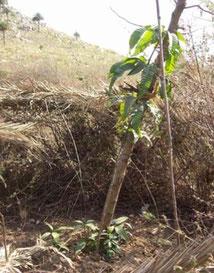 4年目のマンゴーの木