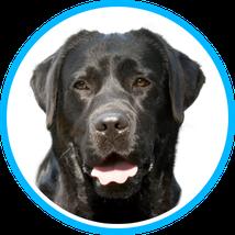 Labradorrüde Cesar, Hundeschule Taubert