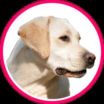 Labradorhündin, Hundeschule Taubert