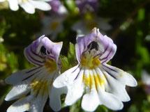 Augentrost/ Heilpflanze