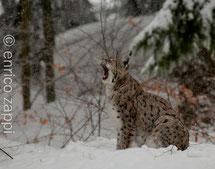 Fauna del Bayerischer Wald