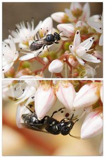 22.06.2016 : Maskenbiene am Weißen Mauerpfeffer