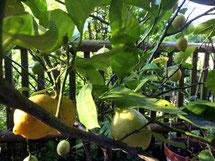 Zitronenbaum, lemon tree