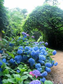 Blütenpracht in Blau auf der Pfaueninsel im Sommer beim Kastellanhaus. Foto: Helga Karl
