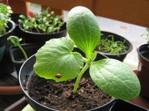 Zucchini Pflanze