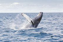 rorqual ou baleine à bosse