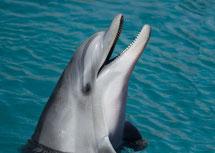 dauphin souffleur