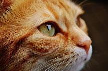猫の横顔イメージ写真cat-1455468_1920