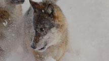 Die Wölfe Eris Arche mit Waldpädagogik