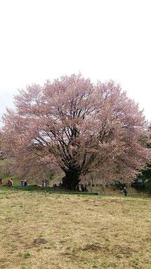 豆さん: 群馬県片品村 重要天然記念物 樹齢300年「天王桜」