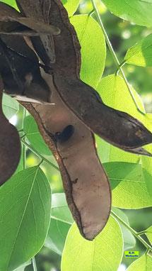 Nahaufnahme der braunen, geöffneten Samenschoten der Robinie / Scheinakazie / Falschen Akazie mit dunklem Samenkorn im Sonnenschein vor leuchtendgrünem Laub von K.D. Michaelis