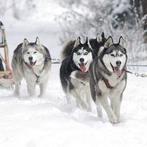 Activité chien de traîneau proposée à Giron en lien avec le gîte de Giron dans l'Ain