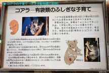 有袋類のふしぎな子育て(天王寺動物園/2015年より)