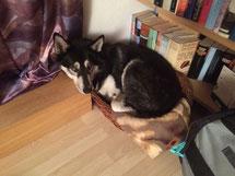 Und wieder gefällt einem grossen Hund das kleine Körbchen als Schlafplatz. Ganz still hat sich Merkur des Nachts hineingelegt, und wurde von Frauchen um vier Uhr überrascht.