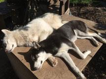 Unser Jungspund-Huskymädel Arizönchen findet immer einen, mit dem sie kuscheln kann (Blizzard und Arizona)